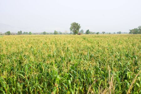 producing: Maize field on February in Thailand Stock Photo