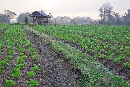 groundnut: Groundnut farm in early morning time