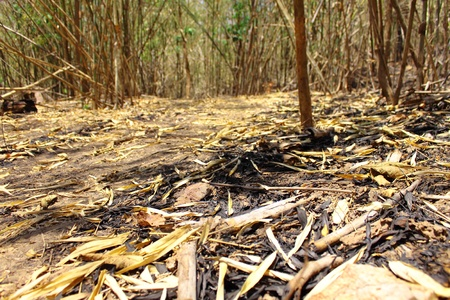 waterless: Dryness of bamboo forest in hot season