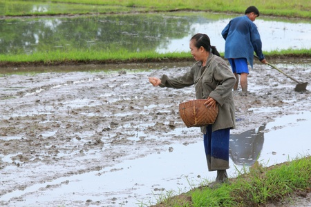 Rice cultivation by scatter of Thai farmers on beginning season photo