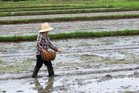 Farmer was sowing paddy for rice cultivation photo