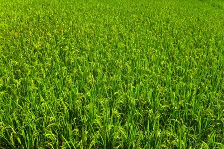 Field with the jasmine rice,Thailand Stock Photo - 12545996