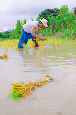 baby rice: Thai farmer working on his field by transplantation Stock Photo