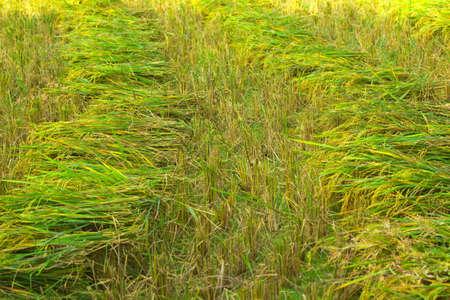 transmute: Este es el proceso antes transmutan a ser arroz