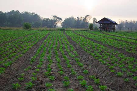groundnut: Groundnut farm on early morning,Thailand Stock Photo