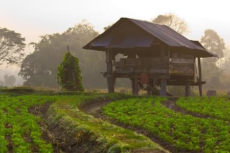 croft: Groundnut farm on early morning,Thailand Editorial