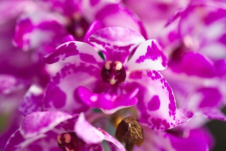 Rhynchostylis gigantea,Dot pink elephant orchid photo