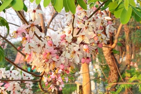 wilding: Prunus cerasoides or Pink Chiang Mai Stock Photo