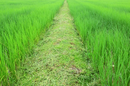 Pathway among sprout rice field photo