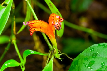 wilding: Aeschymanthus Hildebrandii or red cock sedge,rare orchid of Thailand