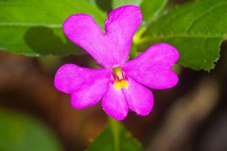 wilding: Pink heart flower,found at Pisa-nuloke,Thailand Stock Photo