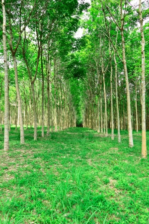 Rubber tree on rubber industry photo