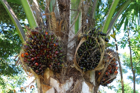 Oil palm for energy industry photo