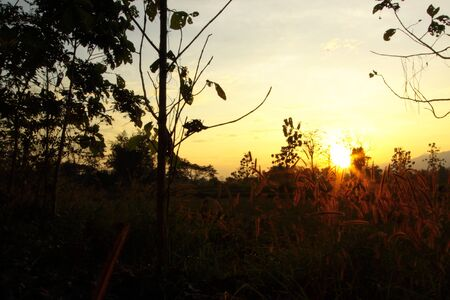 wilding: Grass flowers on twilight of winter,Thailand