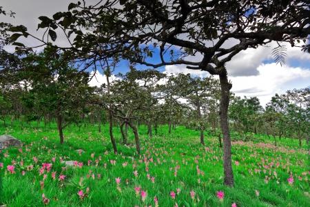 wilding: Field of the bulb flora,Chai Ya Phoom,Thailand