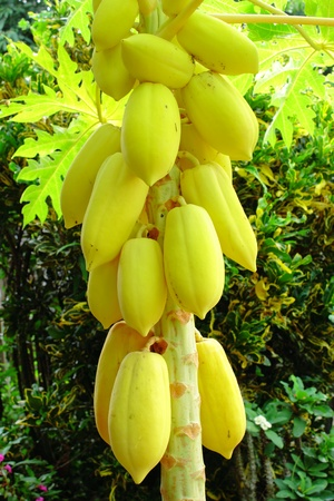 papaw: Golden papaya or Carica Papaya Linn