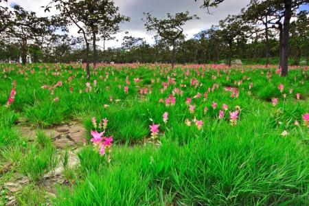 wilding: Pink flower from bulb plant,Cercuma-alismatifolia-Gagnep