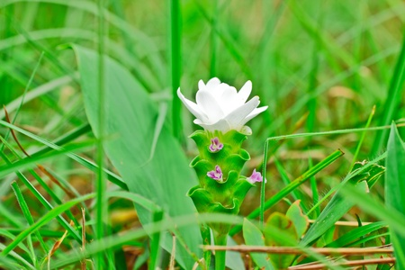 wilding: White Siam tulip,the flower from bulb in wildness