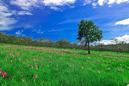wilding: Landmark of E-san,field of Siam tulip,Thailand Stock Photo