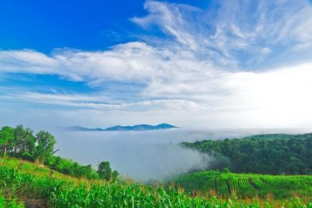 maize cultivation: Maize cultivation on plateau of Nam Prao village,Phrae,Thailand
