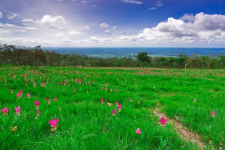 wilding: Siam tulip on the plateau,Chai Ya Phoom,Thailand