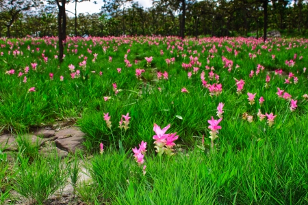 wilding: Area of pink Siam tulip field,the beautiful from nature Stock Photo