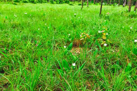 wilding: Field of white tulip or white Cercuma alismatifolia Gagnep in Thailand Stock Photo