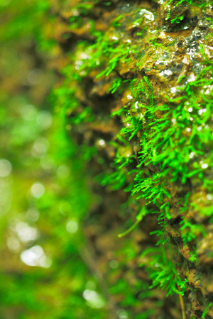 fountainhead: Moss on the stony cliff at fountainhead of Nam Prao stream,Thailand