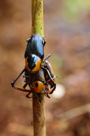 entomological: Cyrtotrachelus on breeding