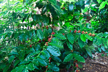 coffee tree: Coffee tree and coffee bean on cherry status Stock Photo