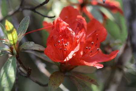 wilding: Rhododendron simsii,the wild rose on high mountain in Thailand Stock Photo