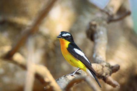 migrate: Yellow-rumped Flycatcher