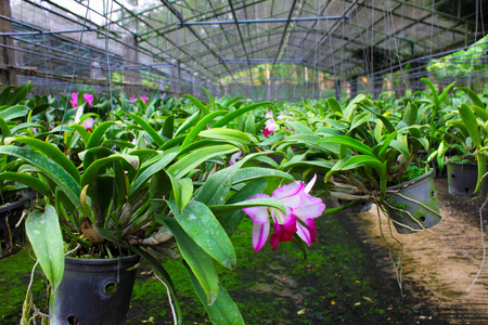 cattleya: Cattleya in farm for sale and export Stock Photo