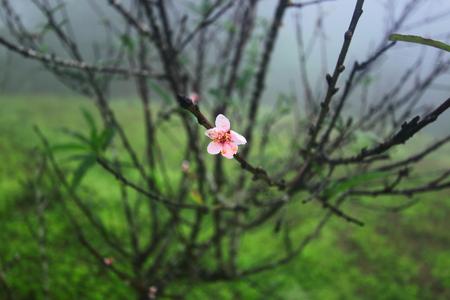 Peachs flower in the winter