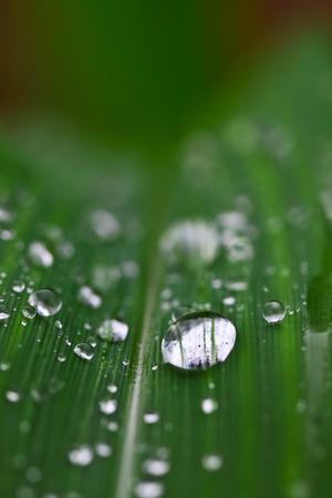 Dew drop on maize leaf Stock Photo