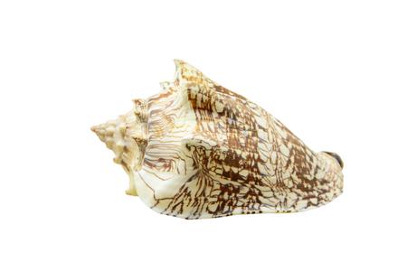 Noble Volute or Cymbiola nobilis