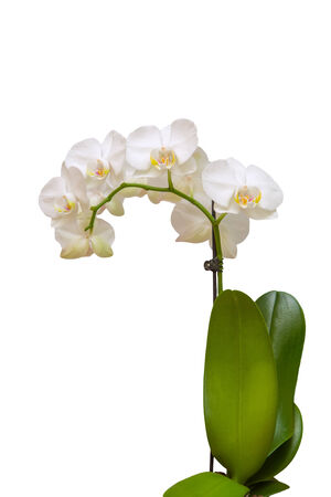 Orchid on a white background photo