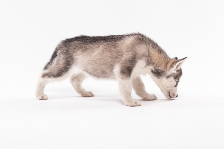 purebred puppy husky gray color on a white background Siberian
