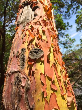 bark peeling from tree: Peeling Yellow and Brown Bark on a Tall Tree