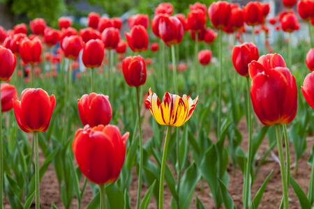 alone in crowd: Stand out from the crowd - one yellow tulip stands alone amongst the red