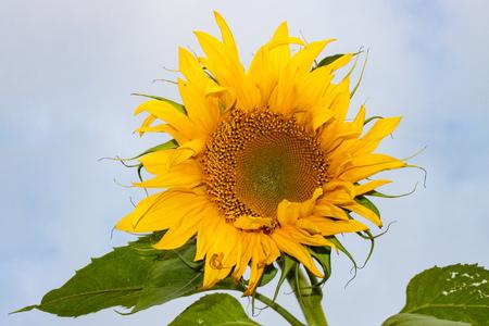 A single sunflower against a blue sky Stock Photo
