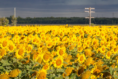 Field of Bright Yellow Sunflowers With Power Line Stock Photo