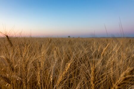 Field of Canadian Prairie Wheat Ready for Harvest at Sunset