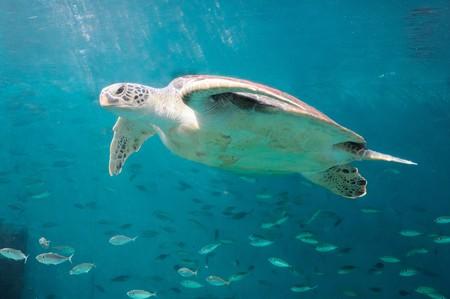 The sea turtle in the Thai aquarium photo