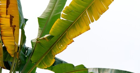 The banana tree in the white background photo