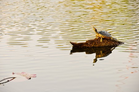 Lonely turtle in the light of sunset photo