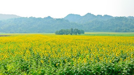 Colorful of sunflower field in sunshine,Thailand Stock Photo - 7756815