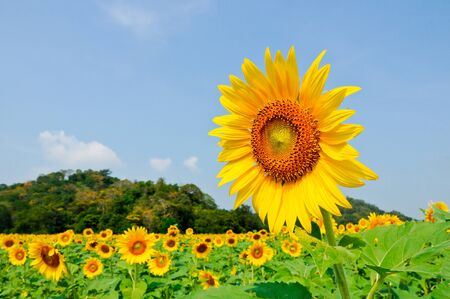 The colorful sun flower in the farm,Lobburi Thailand Stock Photo - 7756805