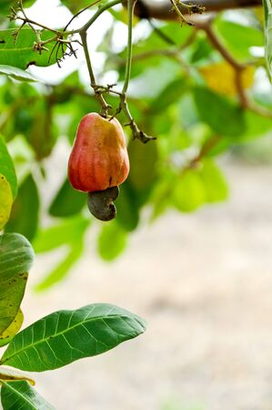 Lonely cashew nut in the summer time,Thailand  Stock Photo