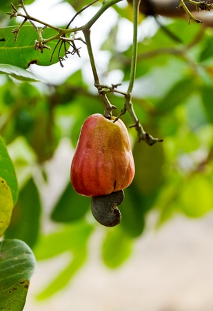 Lonely cashew nut